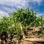 Cover Crop Survey Seeks Farmer Participation