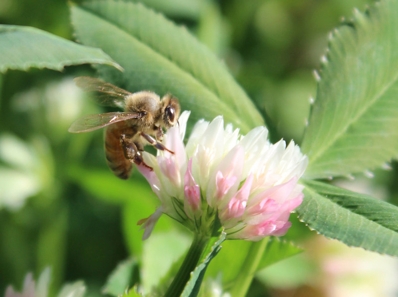 Proceeds from 'Pastures for Pollinators' Seed Mixture Sales Will Benefit Bees, Research and More
