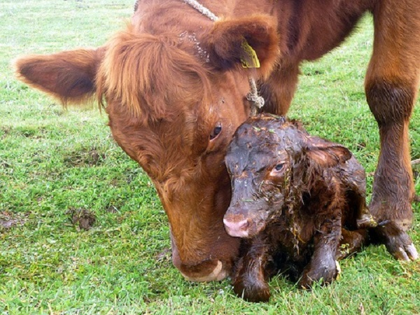 Keep Watch of Young Cows During Calving