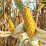 Corn Quality vs. Quantity