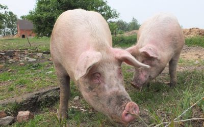 Is 'Pork Texas' What the Industry is Looking For?